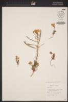 Image of Chylismia brevipes