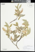 Image of Salix orestera