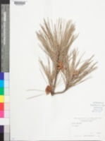 Image of Pinus echinata