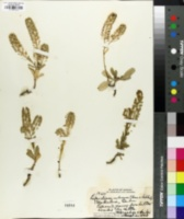 Image of Lepidium owaihiense