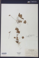 Viola affinis image