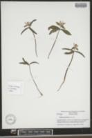 Image of Trillium georgianum