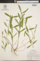 Image of Dracocephalum virginianum