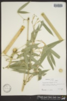 Image of Phyllostachys purpurata