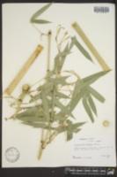 Image of Phyllostachys purpurata