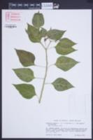 Capsicum annum image