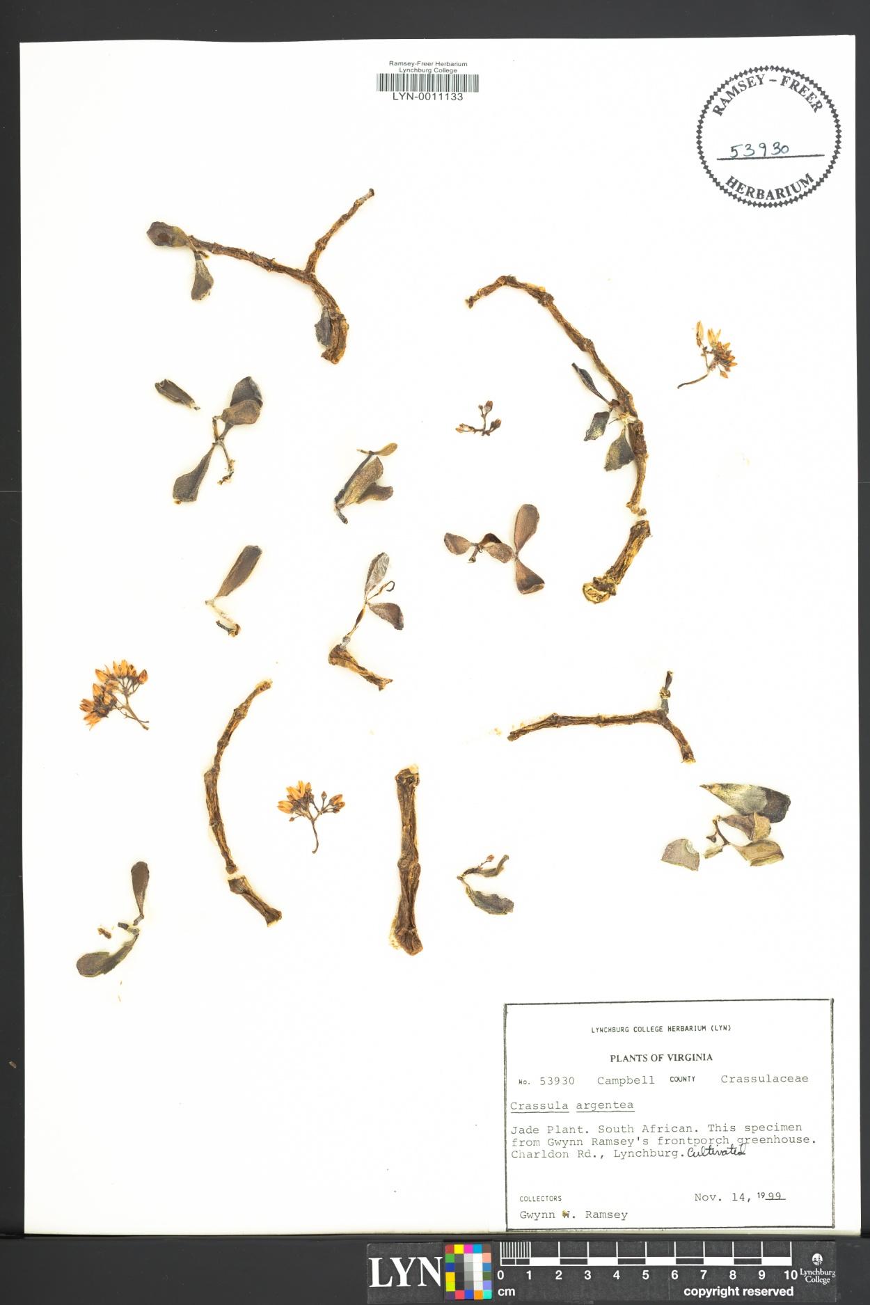 Crassula argentea image