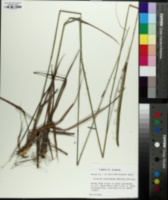 Ctenium floridanum image