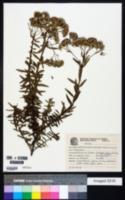 Image of Campovassouria cruciata