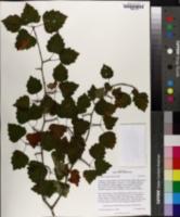 Crataegus macrosperma image