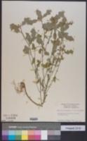 Euphorbia heterophylla var. heterophylla image