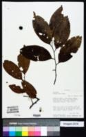 Image of Prunus debilis