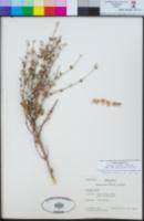 Viviania marifolia image