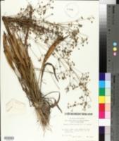 Image of Alisma canaliculatum