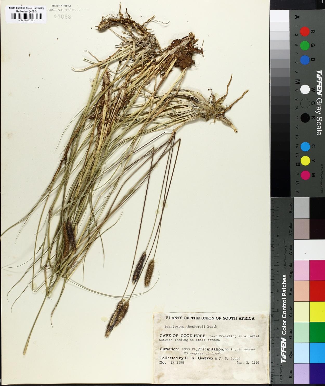 Pennisetum thunbergii image