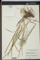 Lophiola americana image