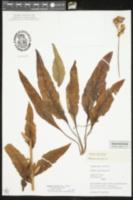 Image of Silphium scaberrimum