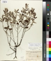 Image of Helianthemum corymbosum