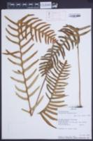Image of Polypodium remotum