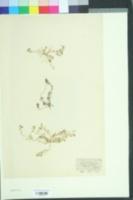 Image of Corrigiola litoralis