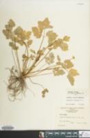 Image of Ranunculus hispidus