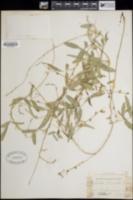 Galactia wrightii image