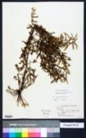 Ludwigia glandulosa image