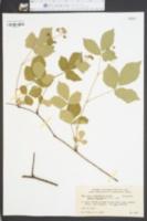 Image of Rubus clandestinus