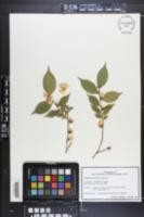 Image of Camellia forrestii