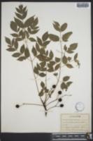 Image of Sapindus acuminatus
