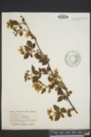 Image of Rubus orarius