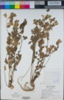 Coriandrum sativum image