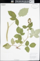 Image of Rubus anglocandicans
