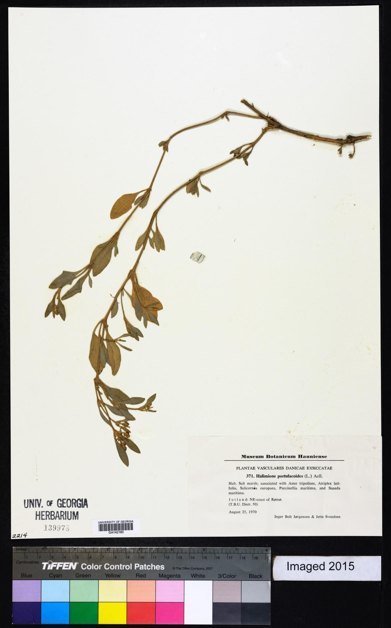 Atriplex pedunculata image