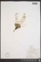 Draba alpina image