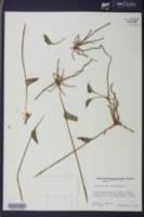 Image of Ophioglossum reticulatum