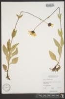 Image of Helianthus subrhomboideus
