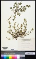 Image of Moehringia trinervia