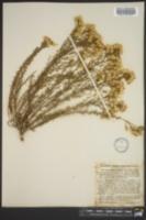 Image of Haplopappus ericoides