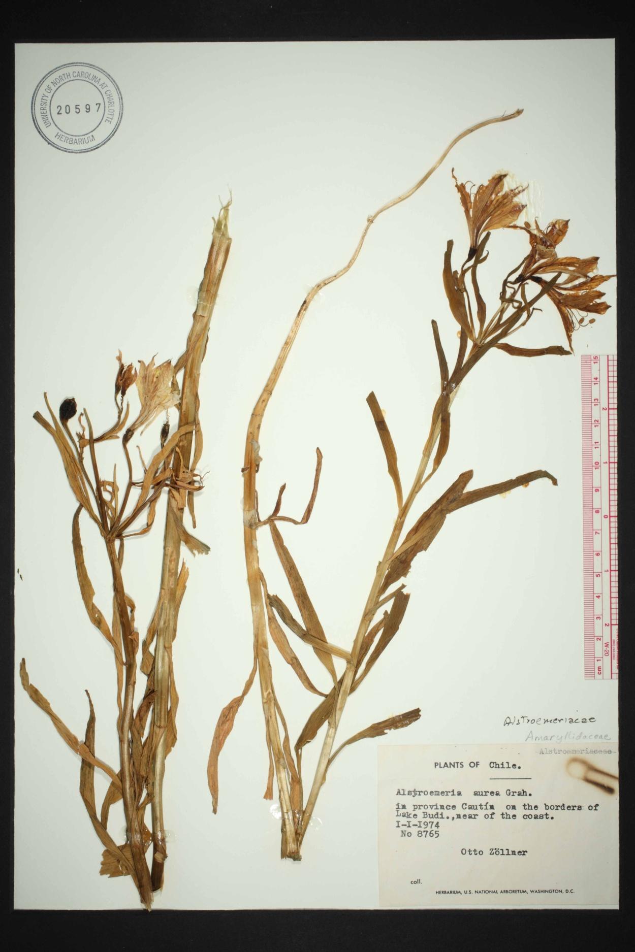 Alstroemeria aurea image