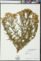Euthamia occidentalis image