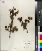 Image of Ceanothus ferrisae