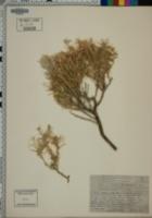 Tetradymia argyraea image