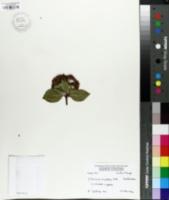 Image of Viburnum rigidum