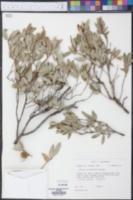 Quercus X pauciloba image