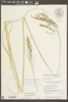 Sporobolus brevipilis image