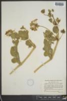 Abronia aurita image