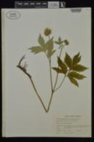 Hydrophyllum virginianum var. virginianum image
