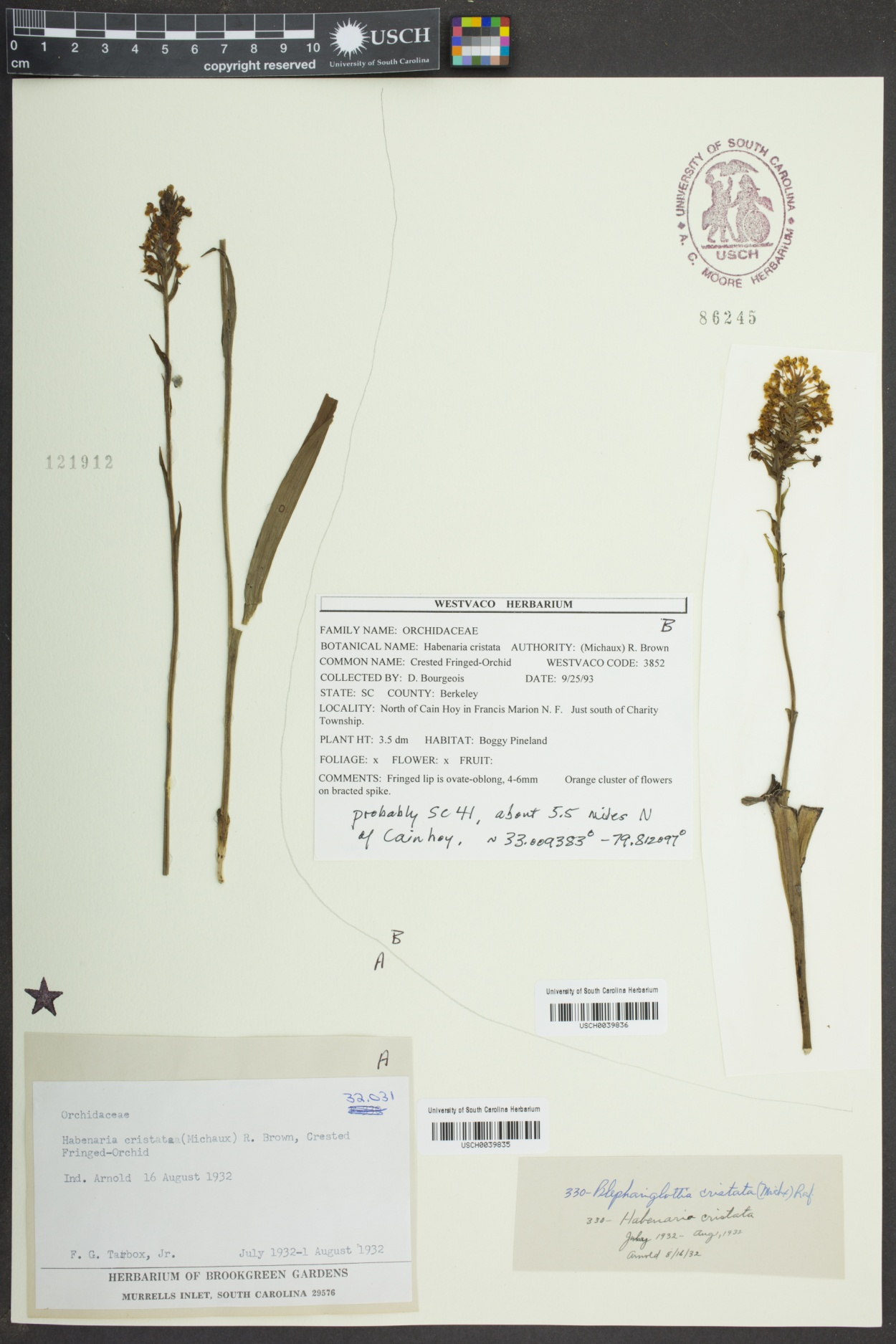 Blephariglotis cristata image