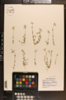 Cerastium semidecandrum image
